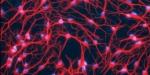 Neurones-DR-Inserm-T.-Debeir-660x330.jpg